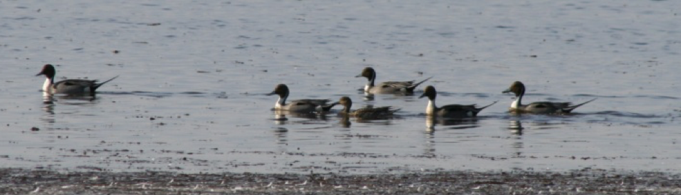 Pintails