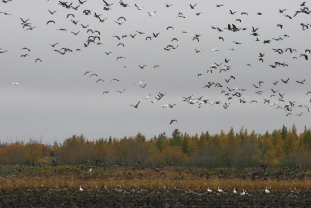 migratingwaterfowl